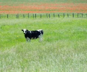 cow .jpg